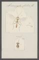 Prionopoda - Print - Iconographia Zoologica - Special Collections University of Amsterdam - UBAINV0274 046 06 0159.tif