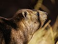 Procavia capensis (portrait).jpg