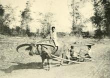 Carabao - Wikipedia