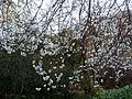 Prunus avium, bloeisels, Meiringskloof Natuurpark, d.jpg