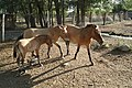 Przewalski's horses in Bugu-Ene Zoo, Karakol.jpg