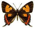 Pseudalmenus chlorinda (ento-csiro-au).jpg
