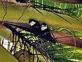 Psitaccilidae - Vini peruviana.jpg