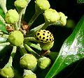 Psyllobora 22-punctata. Coccinellidae - Flickr - gailhampshire (1).jpg