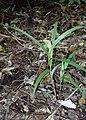 Pterostylis banksii kz01.jpg