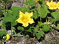 Pumpkins - flowers and fruit - geograph.org.uk - 538572.jpg