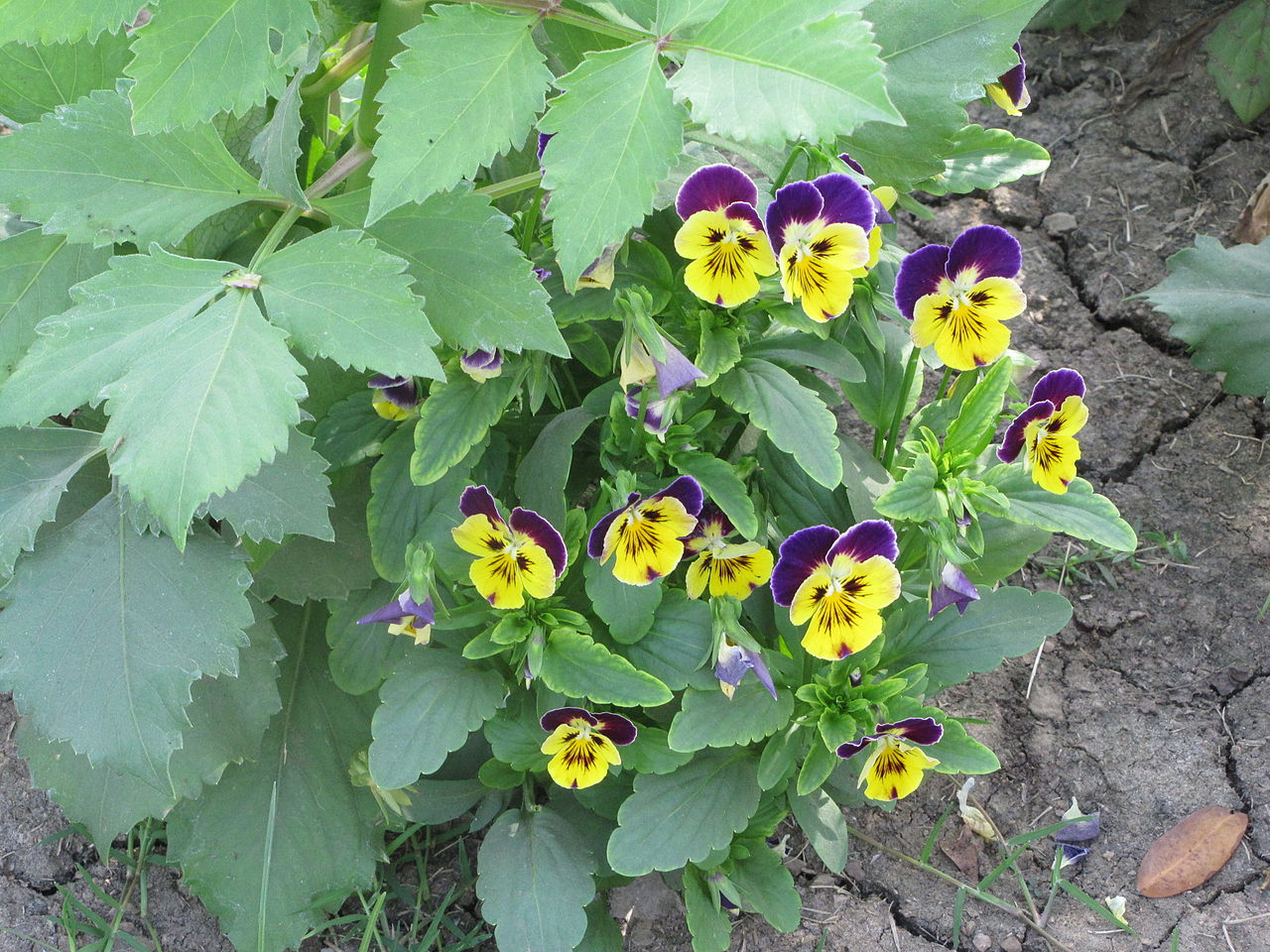 Filepurple Yellow Flowersg Wikimedia Commons
