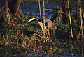 Purple Heron (Ardea purpurea) (20215683818).jpg