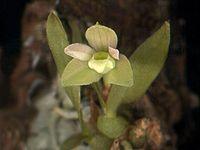 Pygmaeorchis brasiliensis.jpg