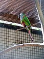 Pyrrhura leucotis -Parque das Aves, Foz do Iguacu, Brazil-8a.jpg