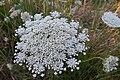 Queen Anne's Lace (Daucus carota).jpg