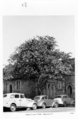Queensland State Archives 4223 Bauhinia Tree George Street Brisbane 1949.png