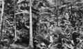 Queensland State Archives 891 Palms and ferns Fairyland Kuranda via Cairns North Queensland March 1931.png