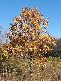 Quercus alba SCA-05296.jpg
