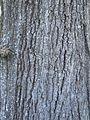 Quercus falcata bark.jpg