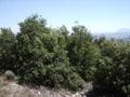 Quercus rotundifolia7 agost06 012.jpg