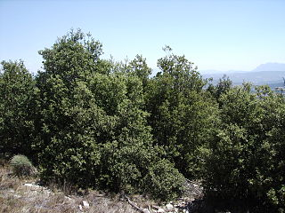 http://upload.wikimedia.org/wikipedia/commons/thumb/f/f7/Quercus_rotundifolia7_agost06_012.jpg/320px-Quercus_rotundifolia7_agost06_012.jpg