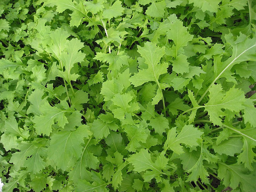 Raapstelen Brassica campestris greens