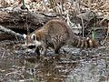 Raccoon - Flickr - GregTheBusker.jpg
