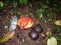 Rafflesia sumatra2.jpg