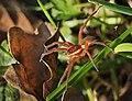 Raft spider (Dolomedes cf fimbriatus (Pisauridae)).jpg