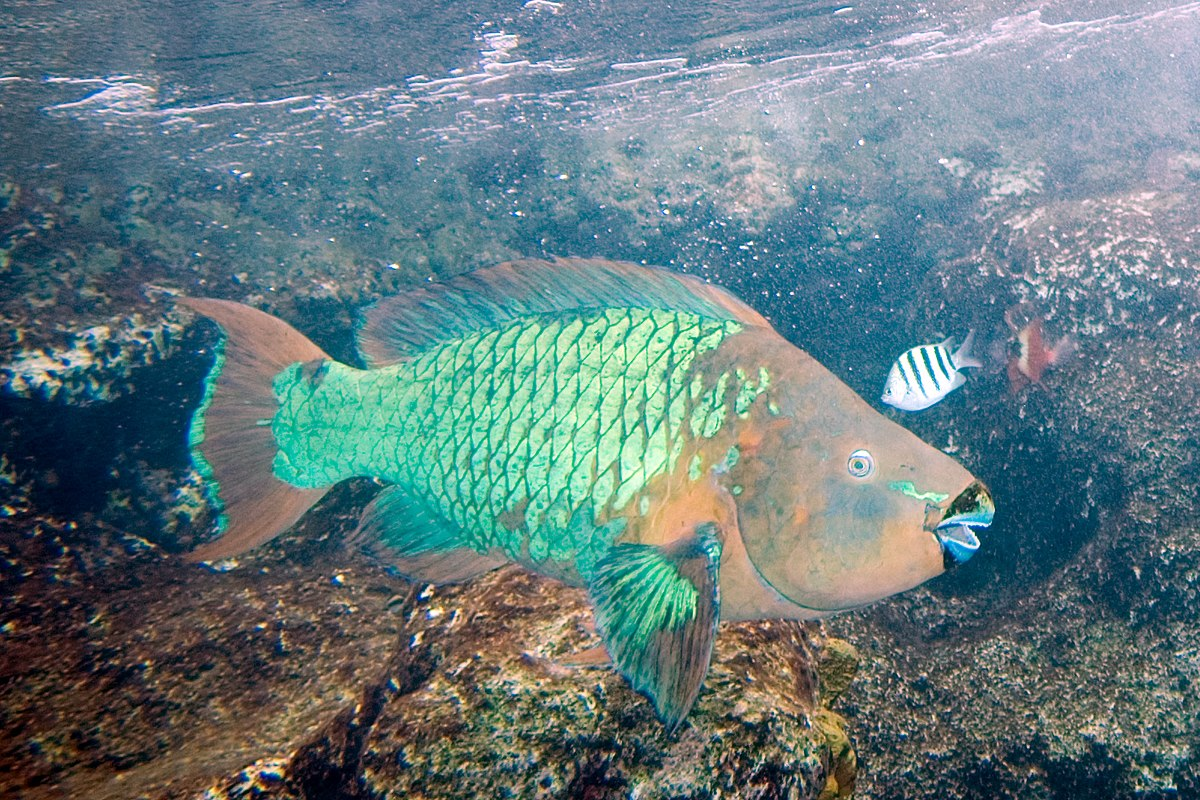 rainbow parrotfish scarus guacamaia The rainbow parrotfish (scarus guacamaia') is the largest of the scaridae family to inhabit the atlantic ocean it is found mostly in coral reefs and on sea beds.