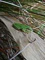 Rainette méridionale (Hyla meridionalis) 02.jpg