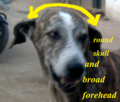 Ramanathapuram mandai dog identity with broad forehead.png