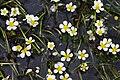 RanunculusTrichophyllus.jpg