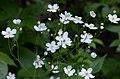 Ranunculus aconitifolius (8337809942).jpg