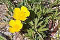 Ranunculus repens 1.JPG