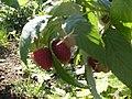 Raspberries, CAMBRIDGE - panoramio.jpg