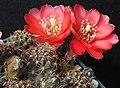 Rebutia pygmaea1a.MW.jpg