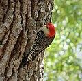 Red-bellied Woodpecker. Melanerpes carolinus (38481491591).jpg