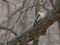 Red-bellied Woodpecker - Melanerpes carolinus, Veteran's Memorial Park, Woodbridge, Virginia (38819027875).jpg