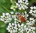Red-brown Longhorn Beetle (Stictoleptura rubra) (23280691895).jpg