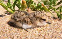 Red-capped plover chick444.jpg