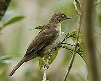 Red-eyed Bulbul -Pycnonotus brunneus -Singapore-8
