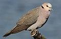 Red-eyed Dove Streptopelia semitorquata at Marievale Nature Reserve, Gauteng, South Africa (32558626764).jpg