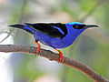 Red-legged Honeycreeper RWD12b.jpg
