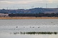 Red-necked Avocets (24470508496).jpg