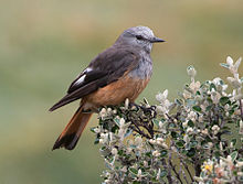 Red-rumped-Bush-tyrant.jpg