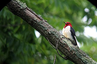 Sky Meadows State Park - Red Headed Woodpecker at Sky Meadows State Park