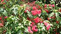 Red Powderpuff (Calliandra haematocephala) 1.jpg