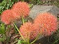 Red street flower 1.JPG