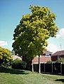 Repton Green - Robinia pseudoacacia - geograph.org.uk - 503674.jpg