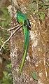 Resplendent Quetzal (Pharomachrus mocinno) (5772512254).jpg