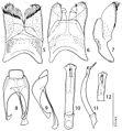 Revision-of-the-genus-Hemisaprinus-Kryzhanovskij-1976-(Coleoptera-Histeridae-Saprininae)-zookeys-429-101-g005.jpg