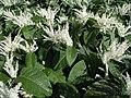 Reynoutria japonica flower (14).jpg