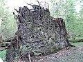Rezerwat ścisły w Puszczy Białowieskiej 2.jpg
